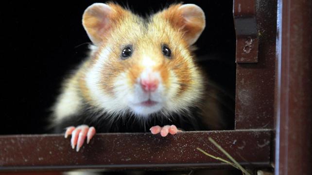 Faut-il sauver le Grand Hamster?
